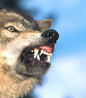 wolfbites.jpg