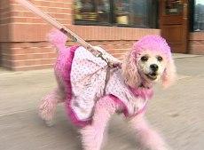 pinkpoodle.jpg