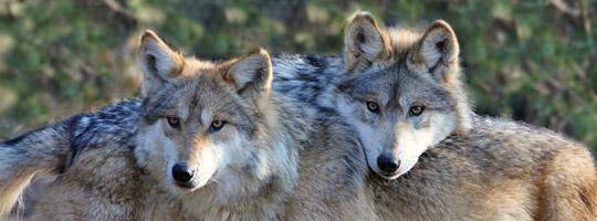 Wolf Germany wolves to germany smartdogs weblog