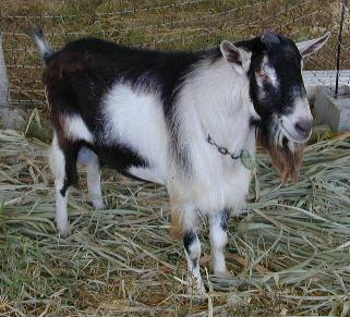 An Alpine goat.  Not Prunella.