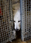 Wolf FAIL